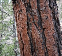 Hiking in Arizona Flagstaff Ponderosa Pine