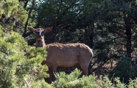 Grand Canyon South Rim Elk